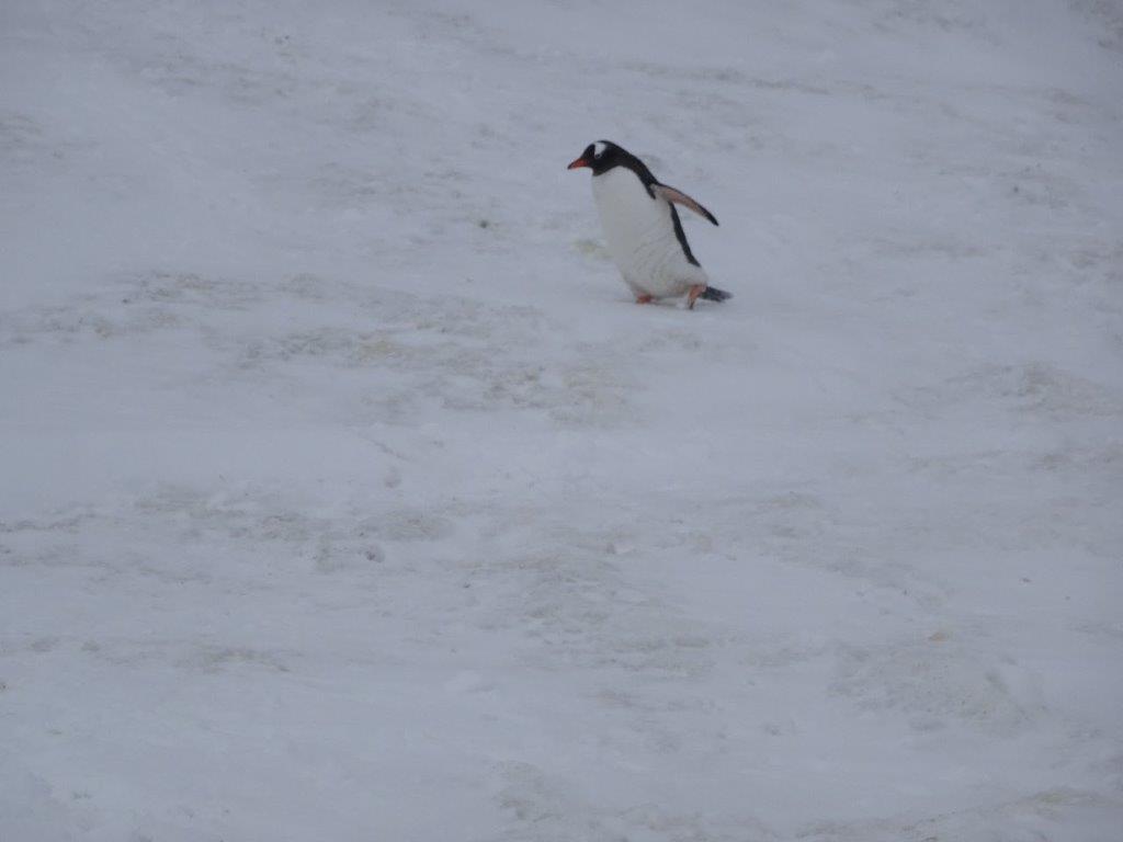 Gentoo Penguin, Mikkelsen Island, Antarctica