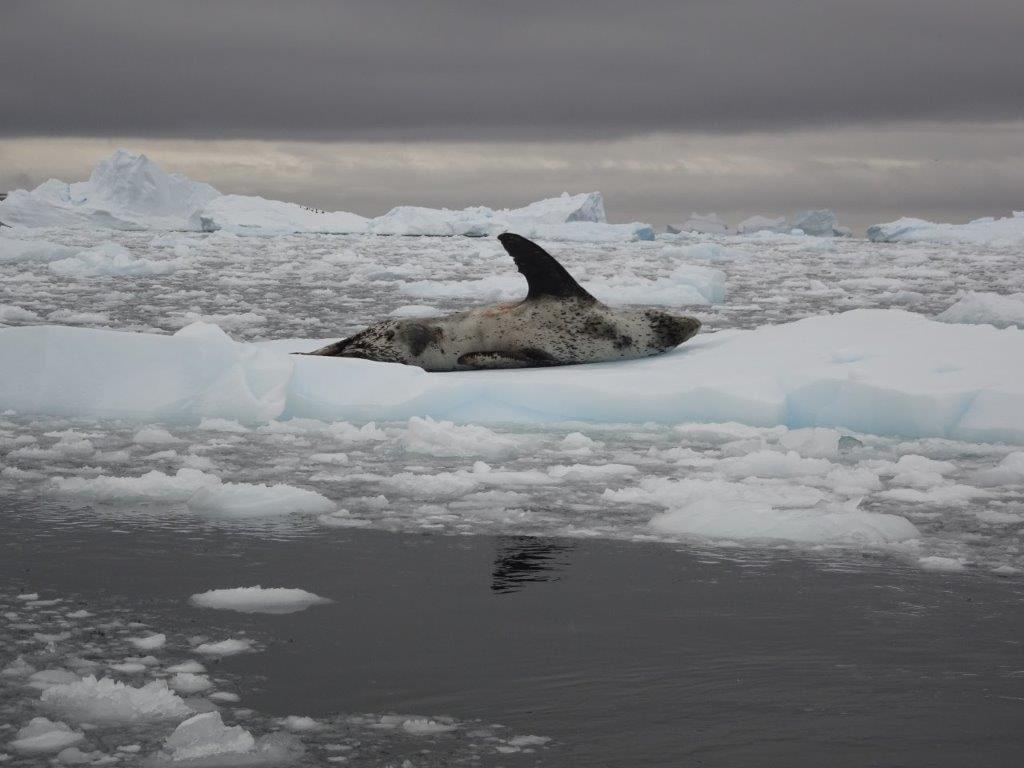 Leopard Seal Waving, Cerva Cove, Antarctica