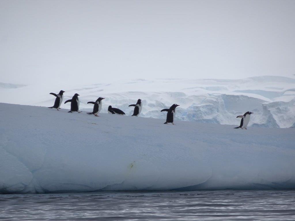Penguin Group on Iceberg, Cerva Cove, Antarctica