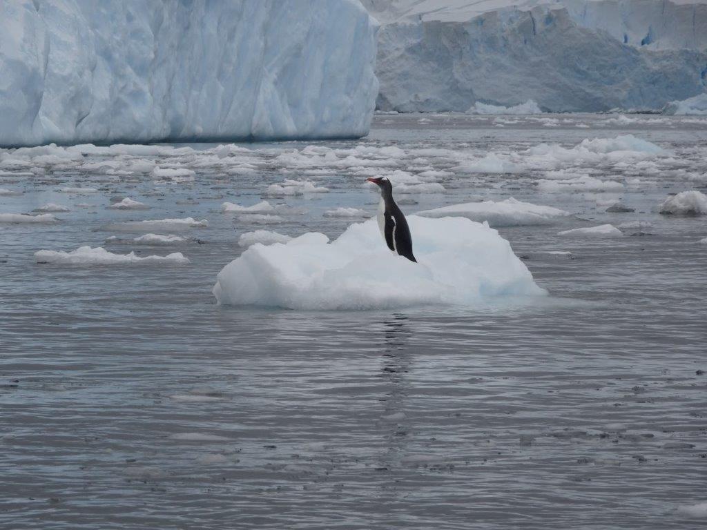 Penguin on Ice, Cerva Cove, Antarctica