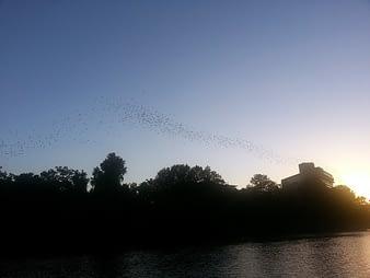 Bats at Sunset, Austin, Texas