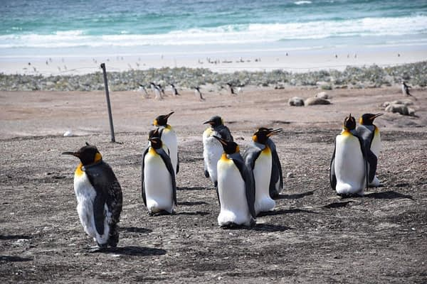King Penguin Group, Saunders Island, Falkland Islands, Antarctica