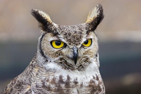 Texas Hoot Owl
