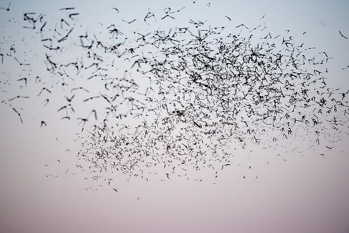 Bats in Flight, Austin, Texas