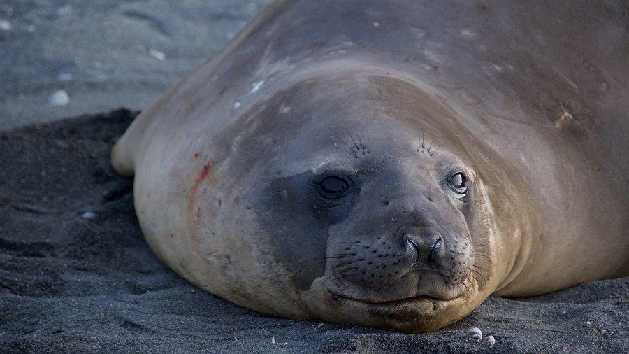 Weddell Seal, Neko Harbor, Antarctica