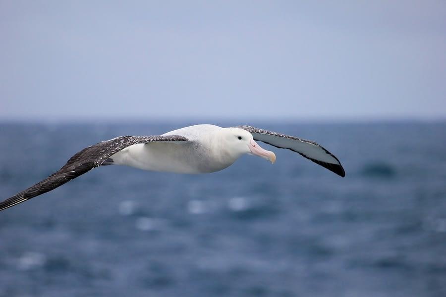Wandering Albatross, Antarctic Ocean, Antarctica
