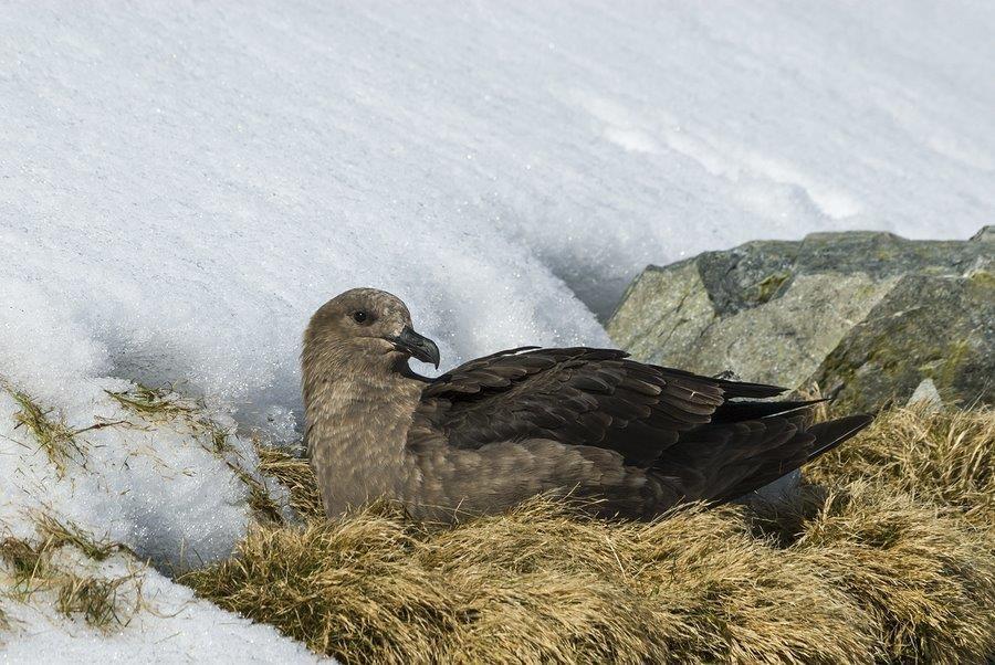 Brown Skua Nesting, Antarctica