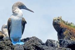 Marine Iguana with Blue Footed Boobie, Galapagos Islands, Ecuador